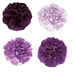 Inserting Different Shades And Hues Of Purple FLORIGENE Growers Are Well Known In The Flower Industry For Breeding A Delightful Range Carnations