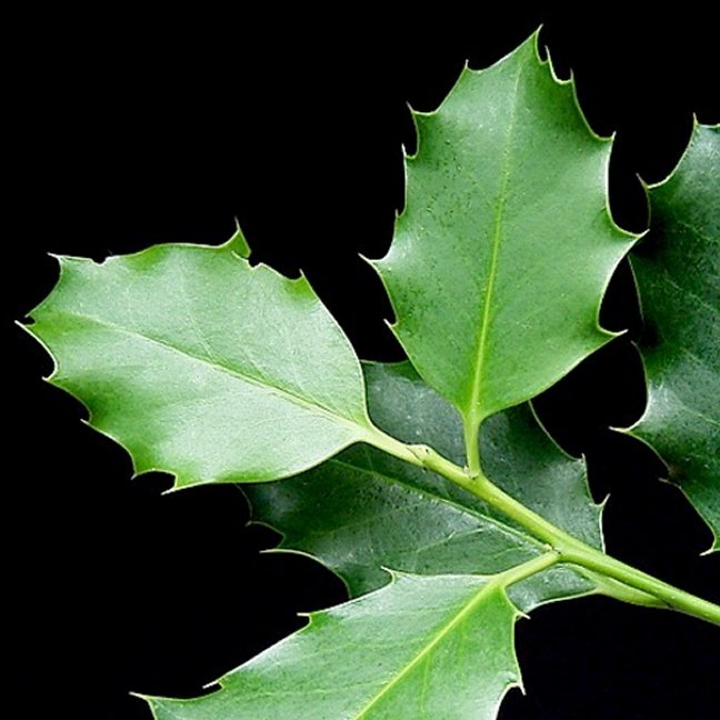 fresh holly is available in bulk but must be shipped overnight and then stored in a very cool area such as a garage to maintain freshness for as long as