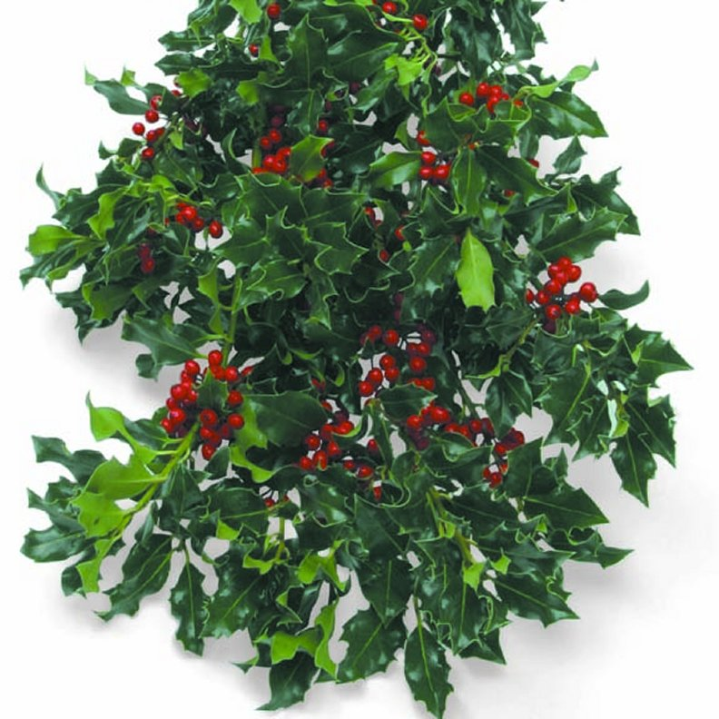 fresh christmas greenery in bulk english holly - Fresh Christmas Greenery